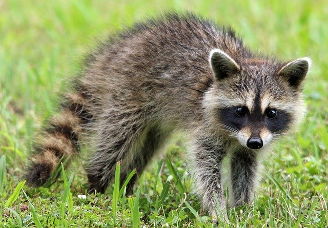 Baby Raccoon Facts