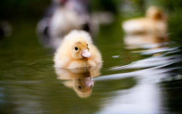 Baby duck swimming