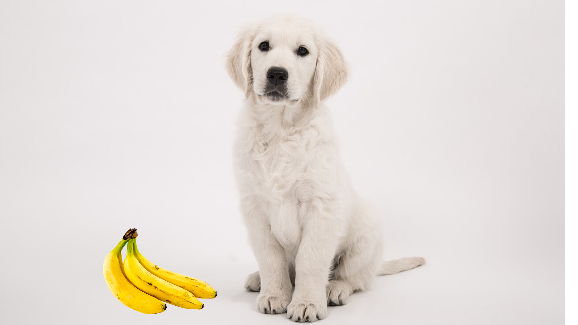 Can Golden Retrievers Eat Bananas