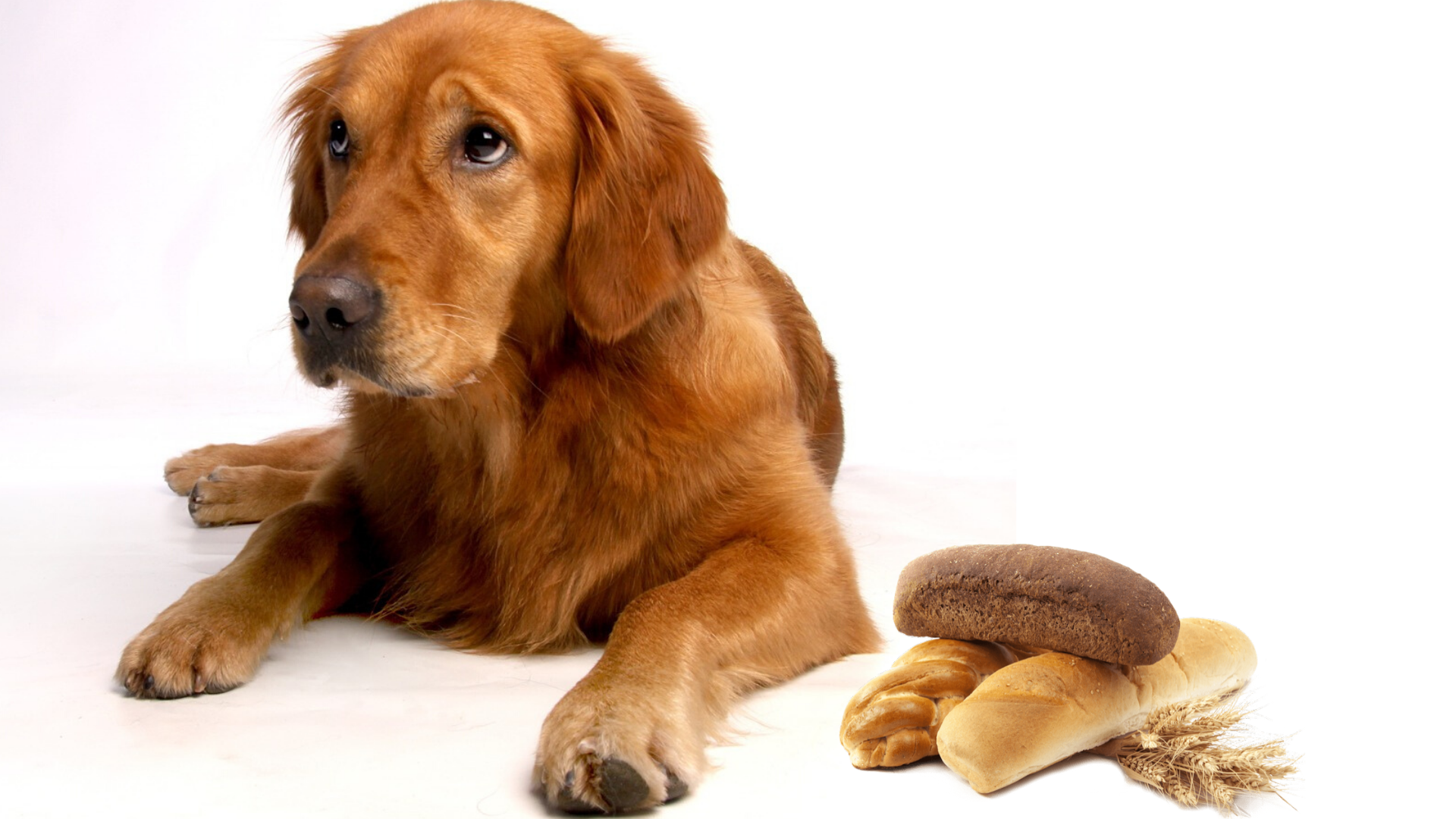 Can Golden Retrievers Eat Bread