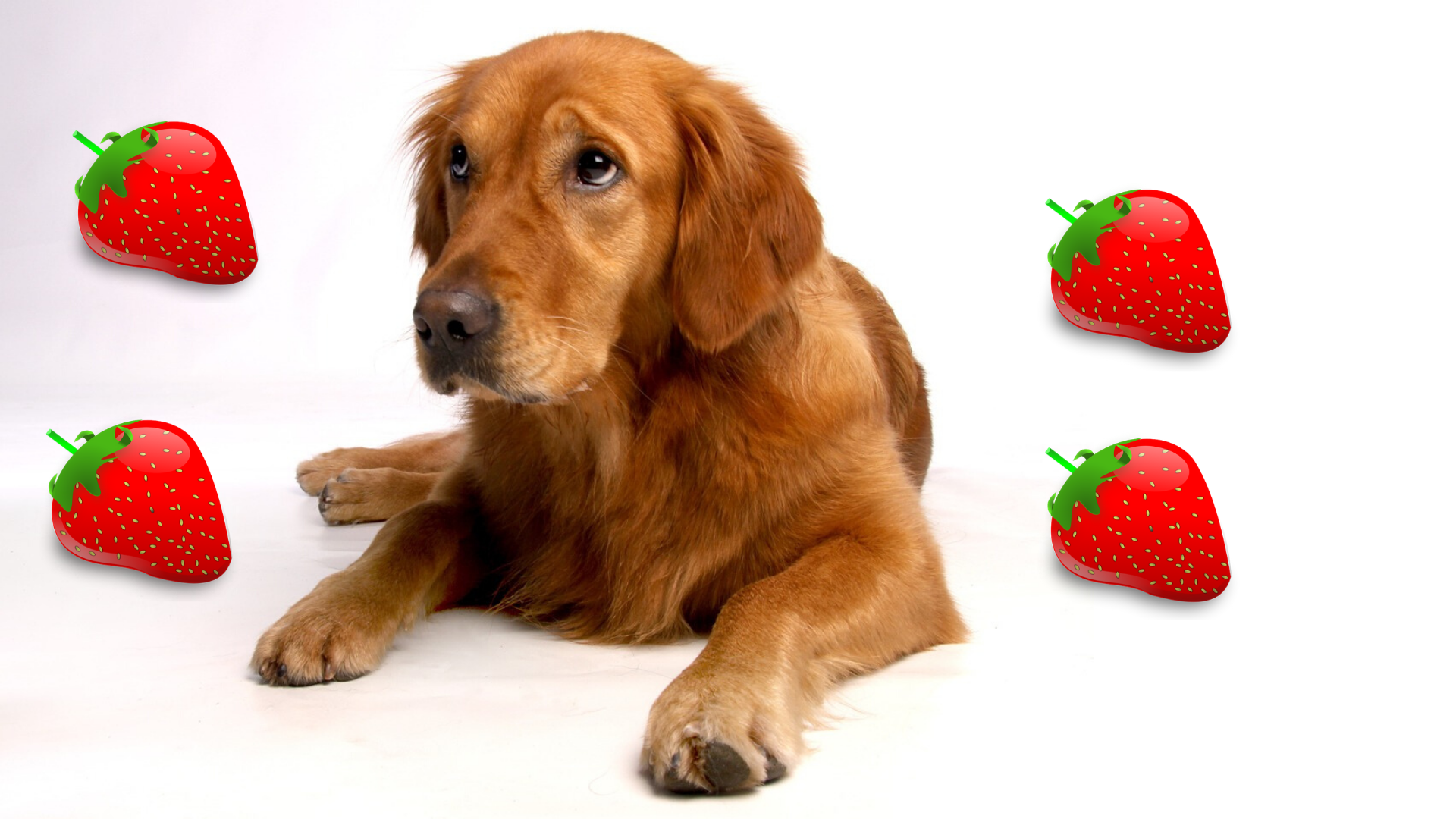 Can Golden Retrievers Eat Strawberries
