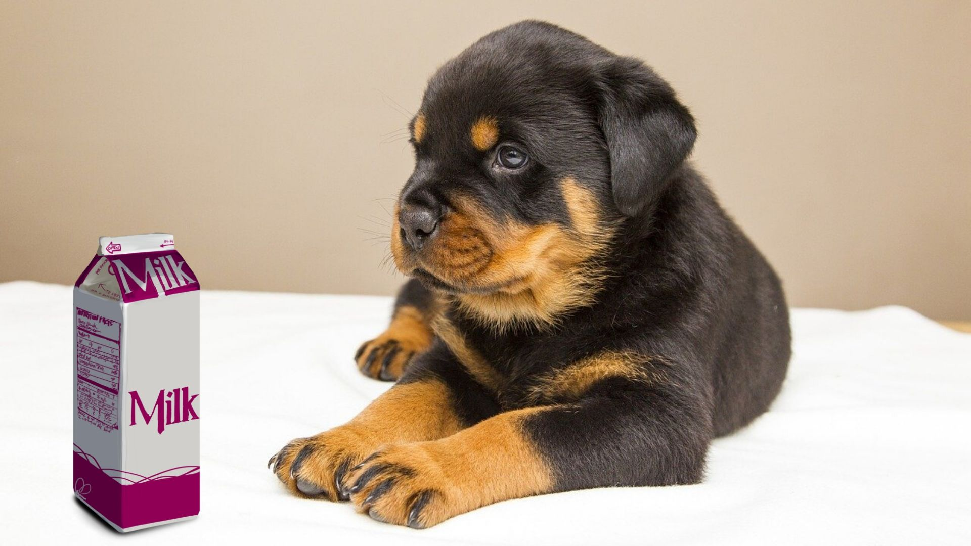 Can Rottweilers Drink Milk Animal Hype