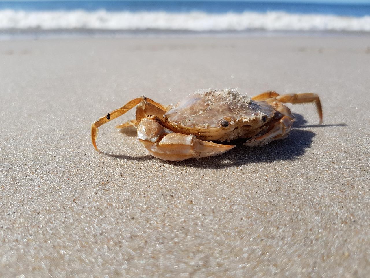 Do Crabs Lay Eggs