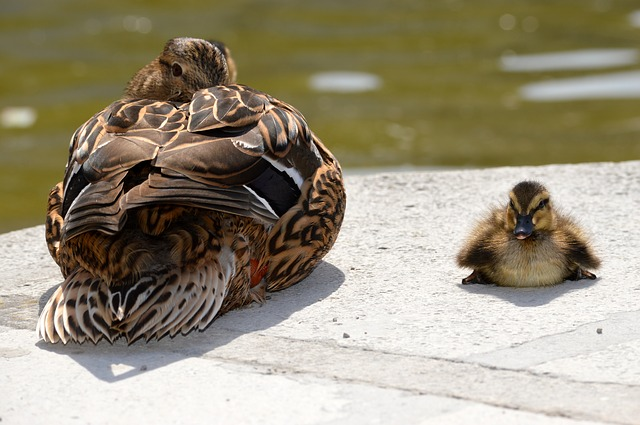 Funny Baby Duck