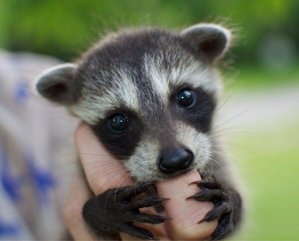 Funny Baby Raccoon