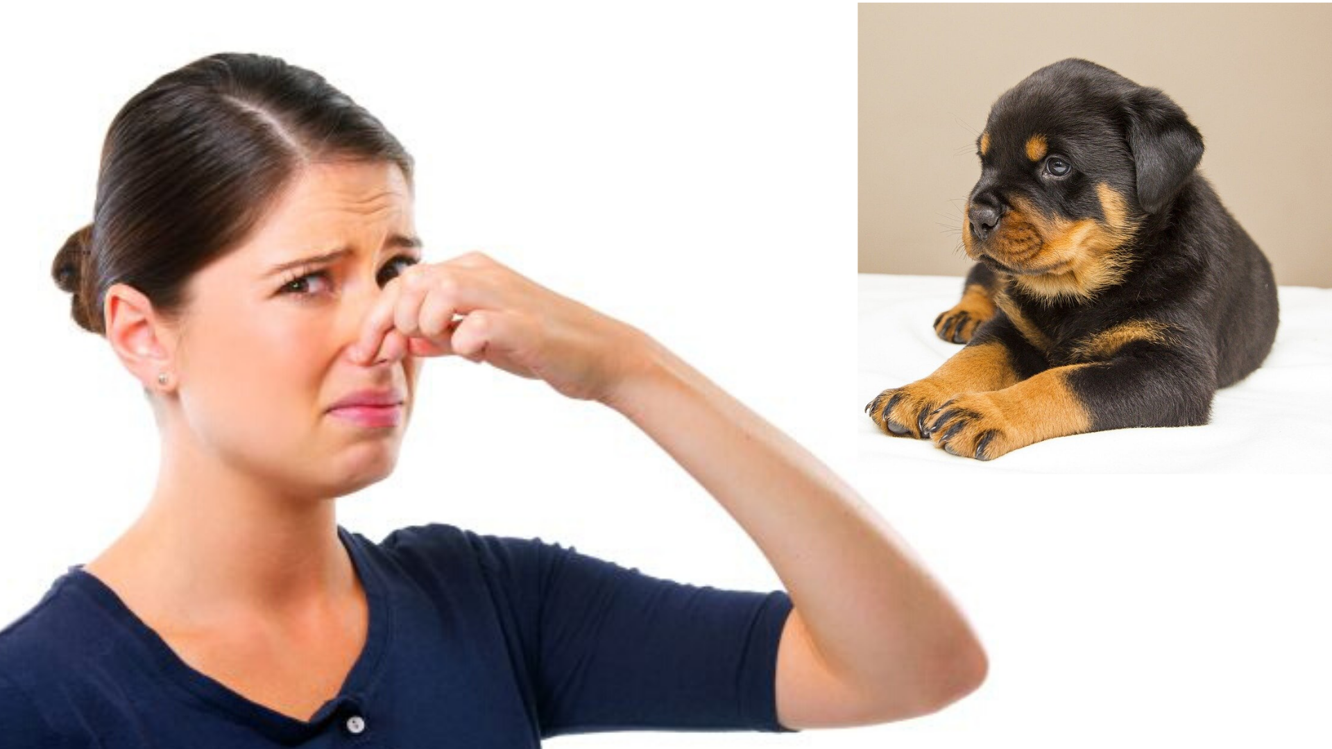 Why Rottweilers Smell Bad and what to do
