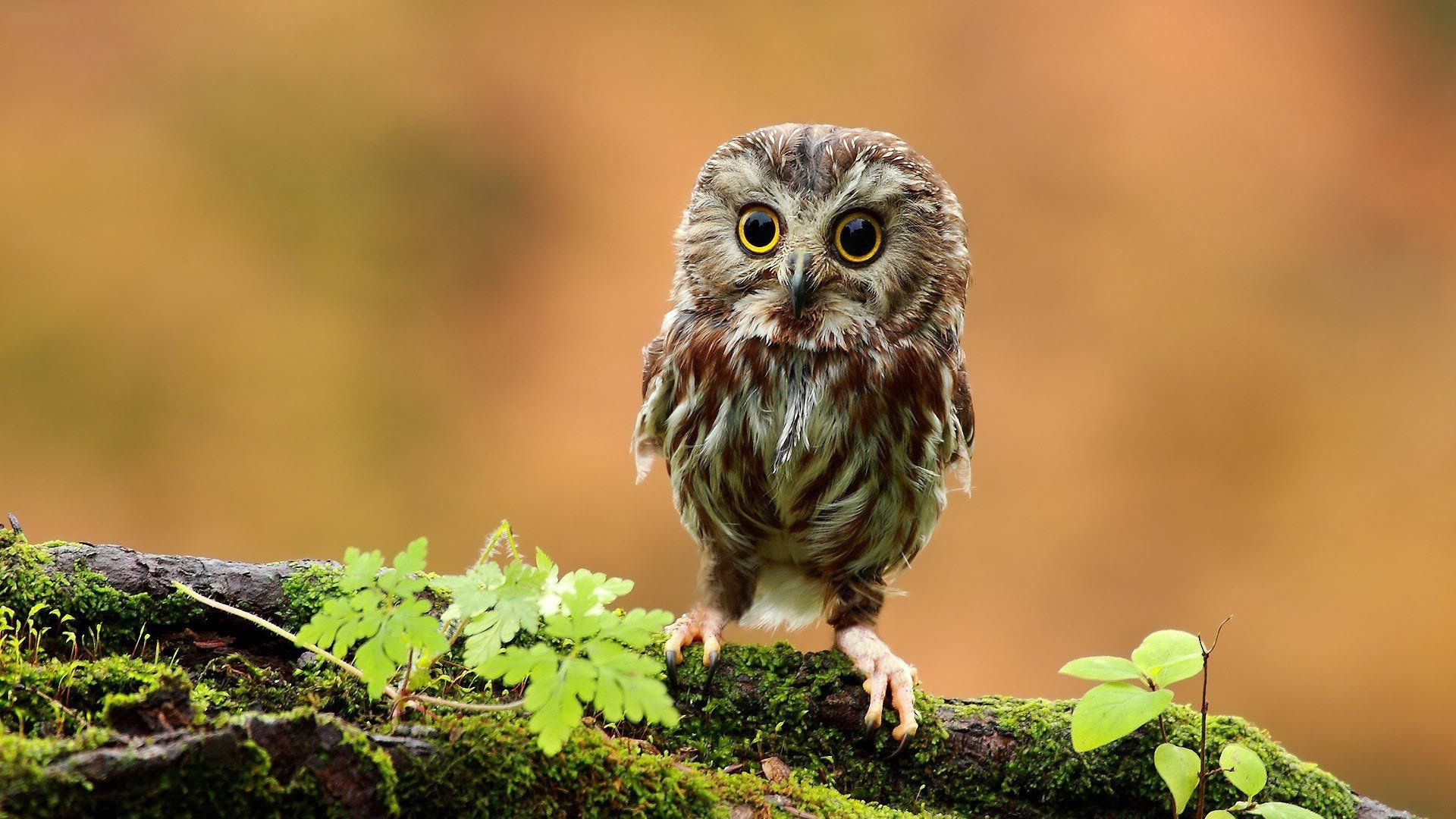 baby owl photos, videos and facts