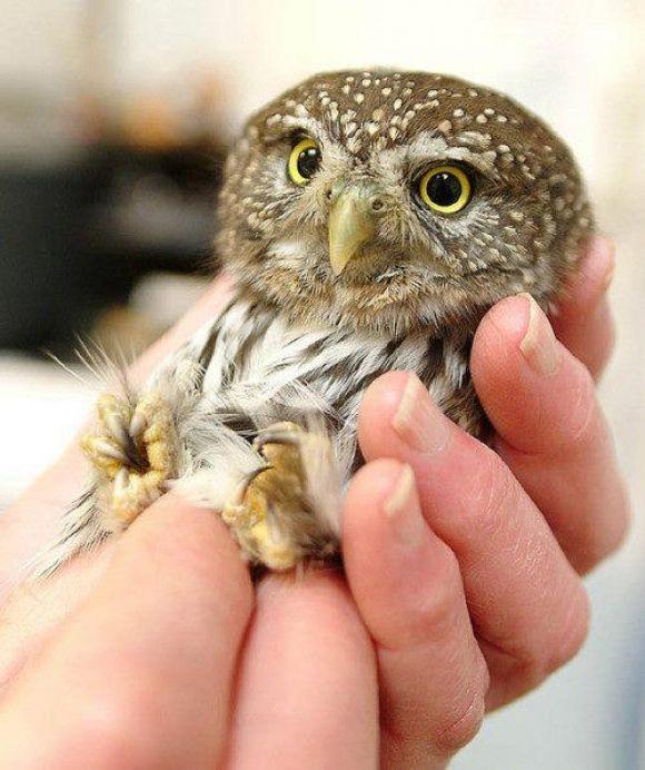 cutest baby owl