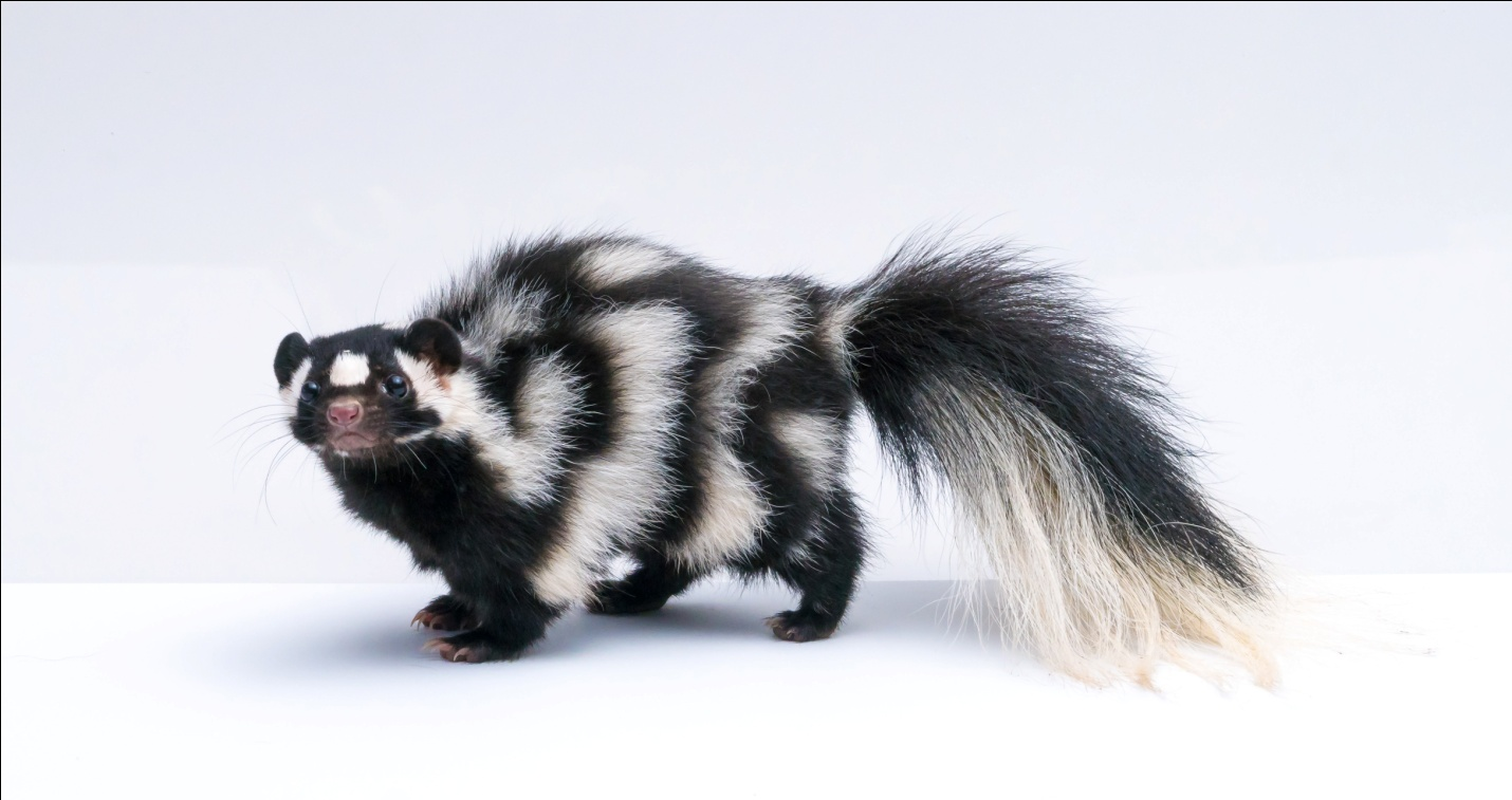 skunk names