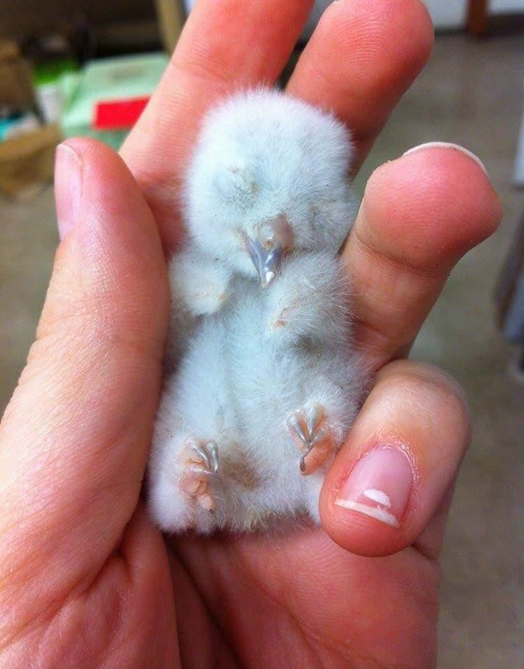 tiny baby owl