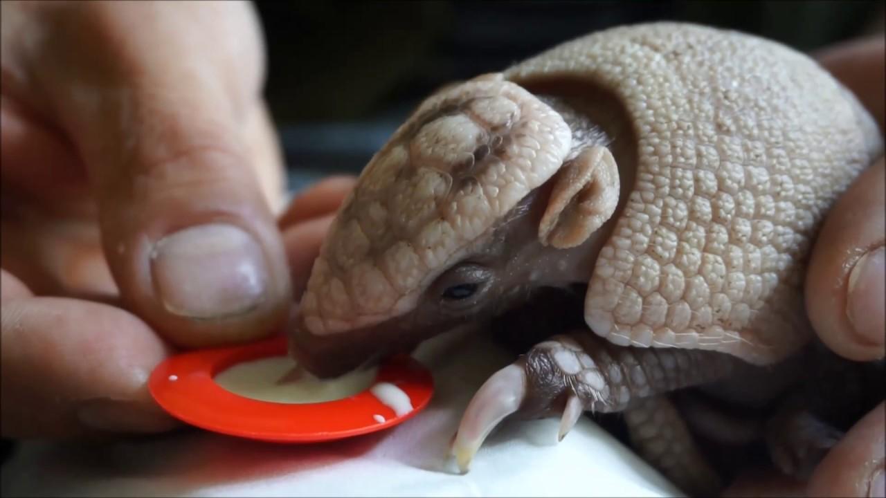 Pet Baby Armadillo Feeding