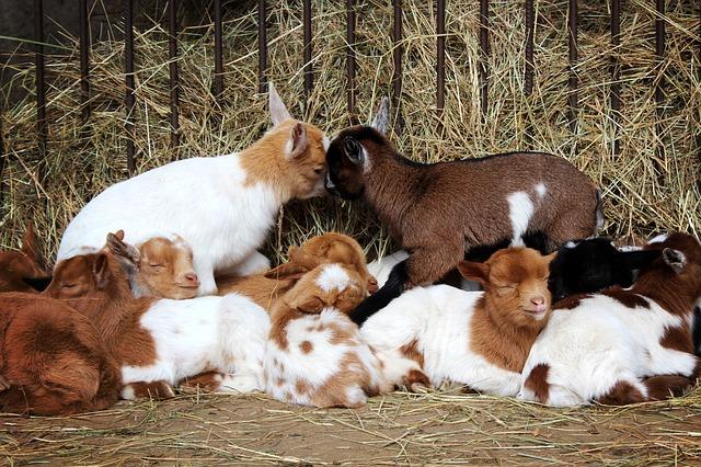 Baby Goat in herd