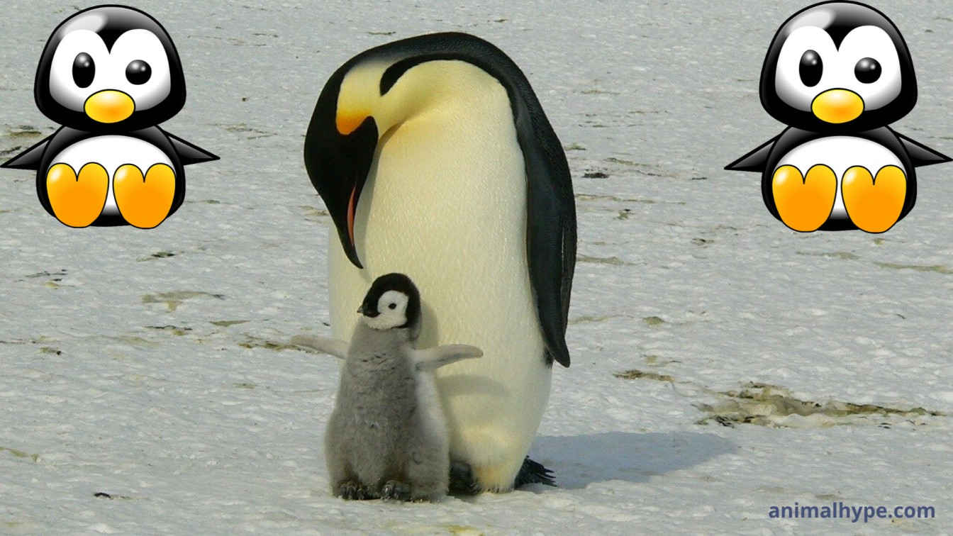 Baby Penguin photos videos and facts