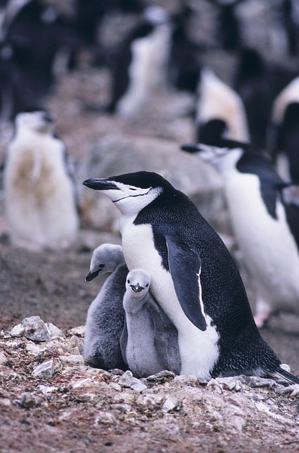 Baby Penguins with Parents