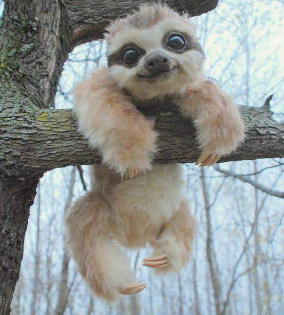 Baby Sloth Picture