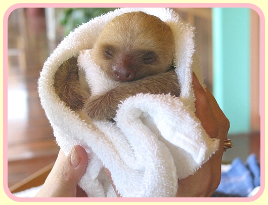 Baby Sloth in Blanket