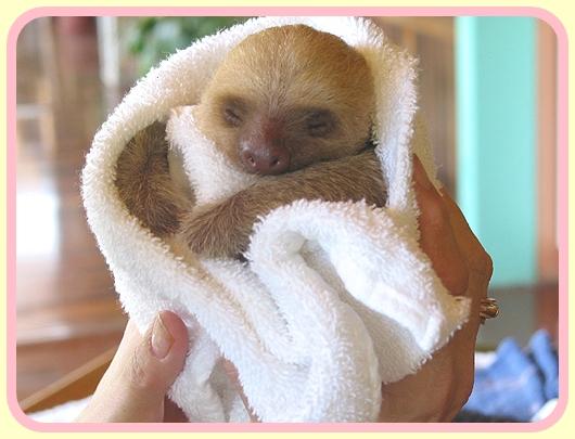 Baby Sloth in Blanket
