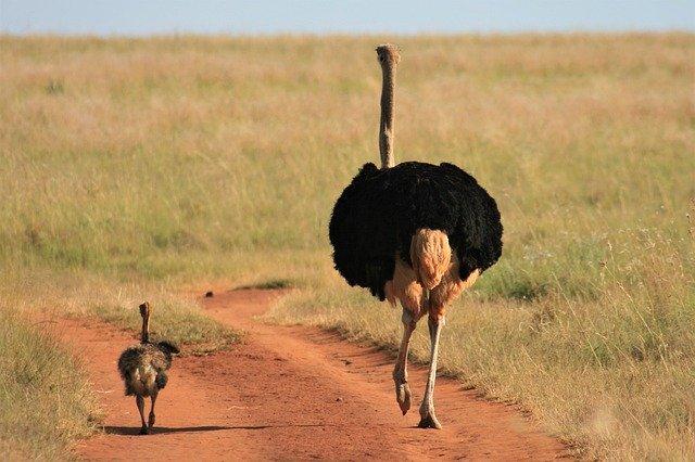 Baby ostrich Size