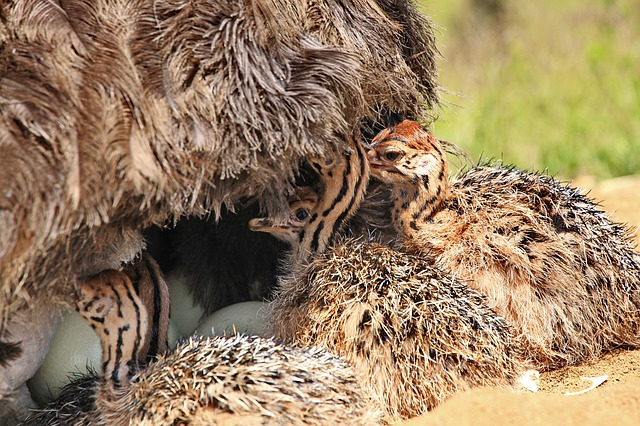 Baby ostriches with mother ostrich