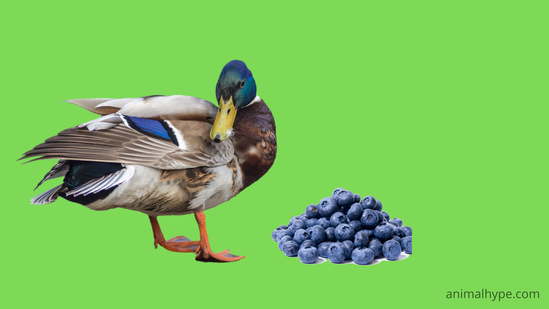 Can Ducks Eat Blueberries