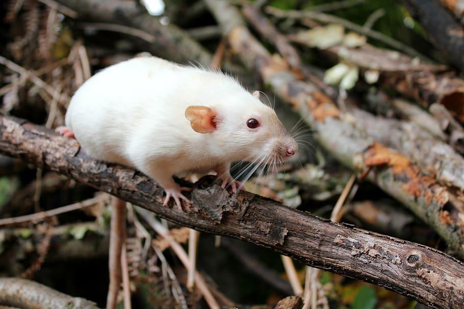 Can Rats Climb Trees