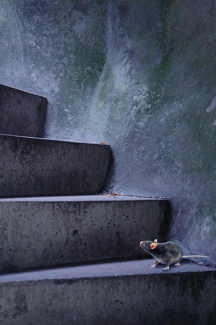 Can rats climb stairs
