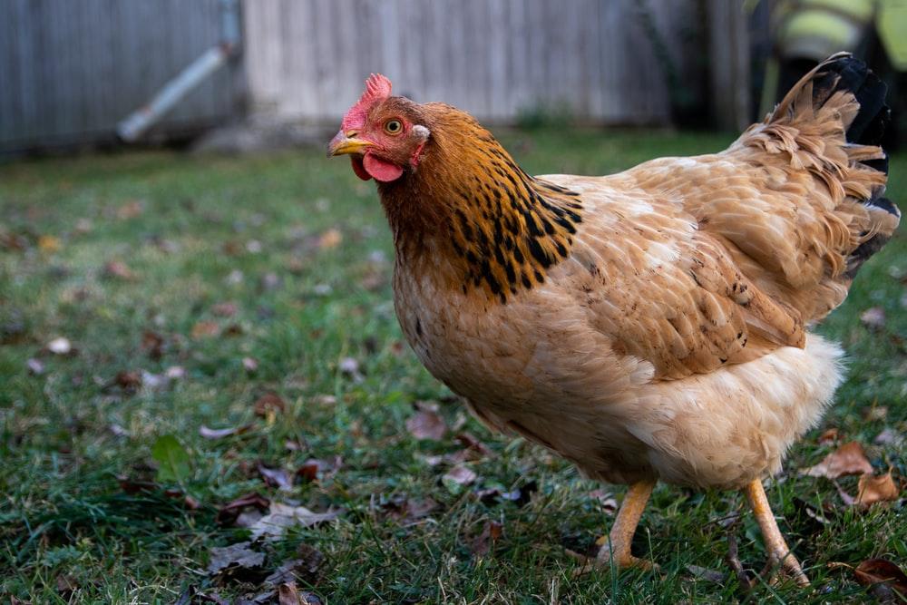 Chicken Names