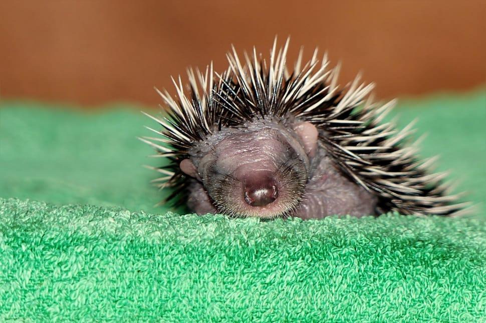 Cute Baby Porcupine