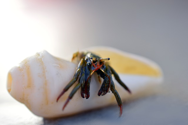 Do Hermit Crabs move while molting
