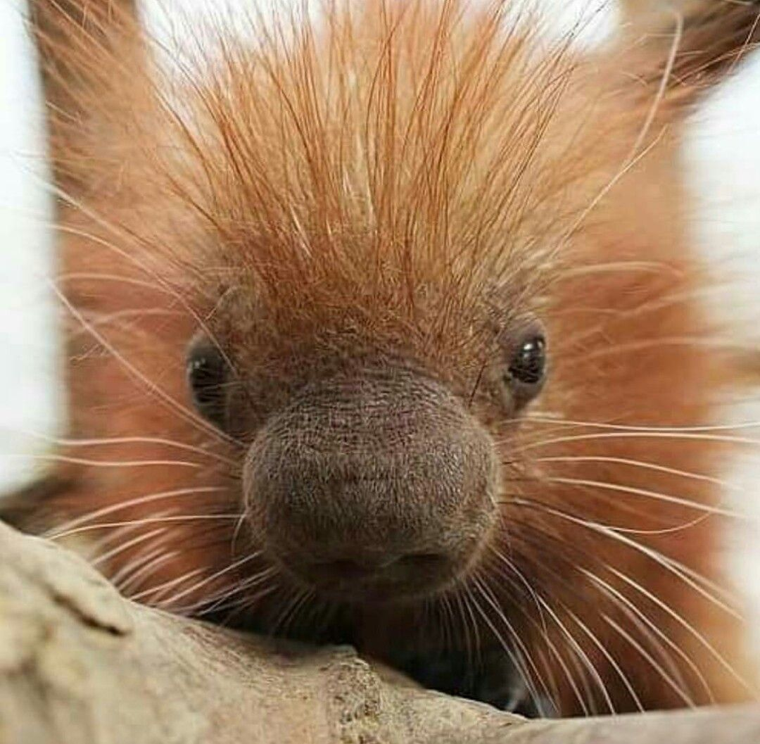 Funny Baby Porcupine