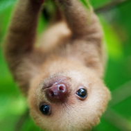 Funny Baby Sloth