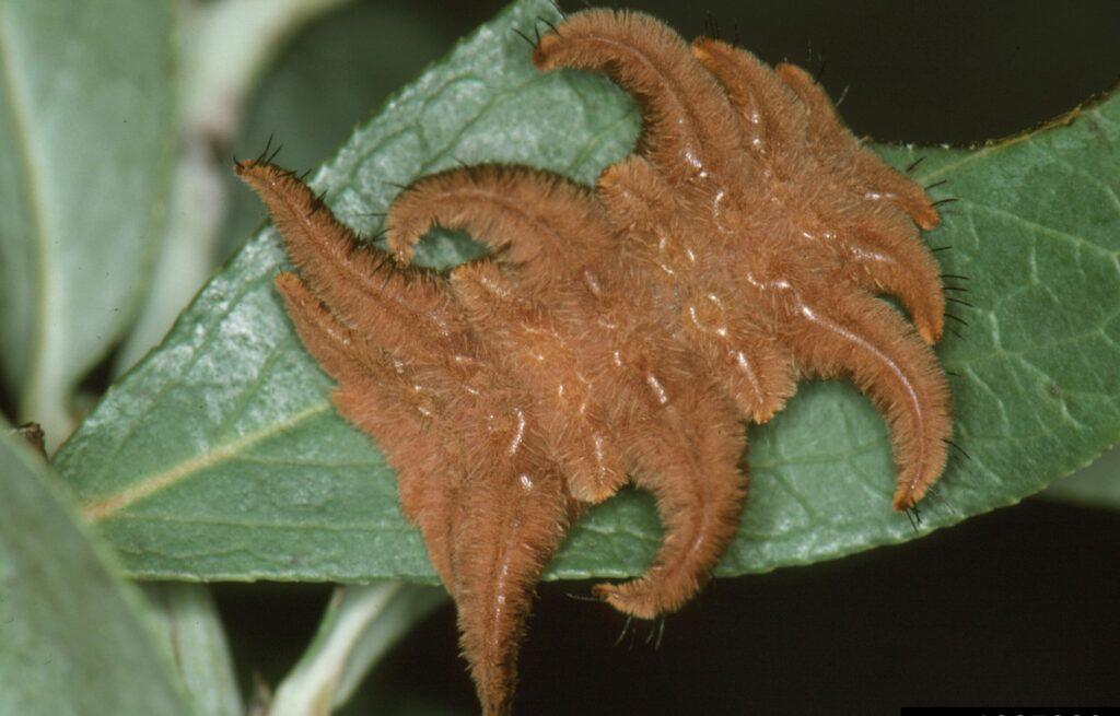 Poisonous Hag Moth Caterpillars