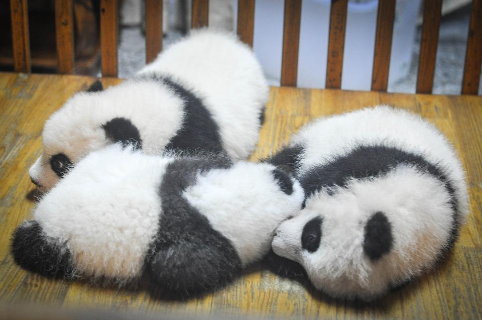 Lazy baby pandas
