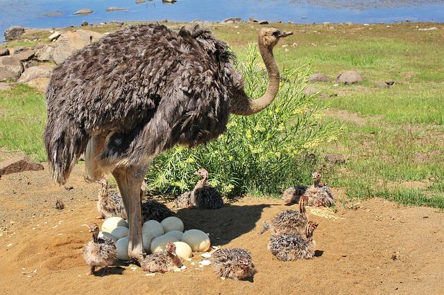 Newborn baby ostriches