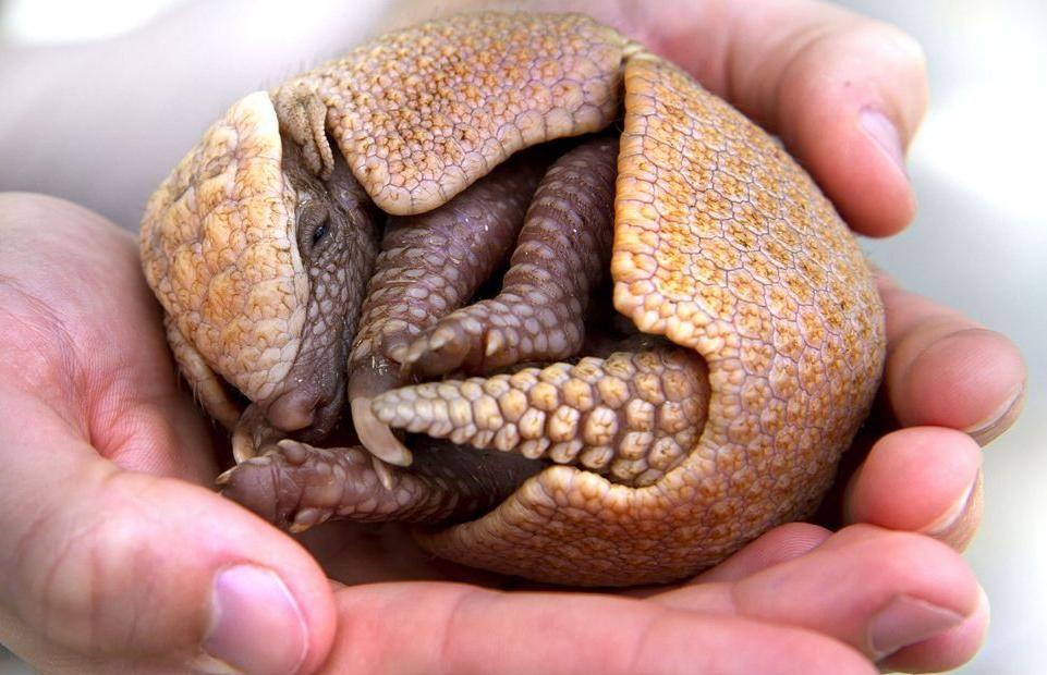 adorable baby armadillo
