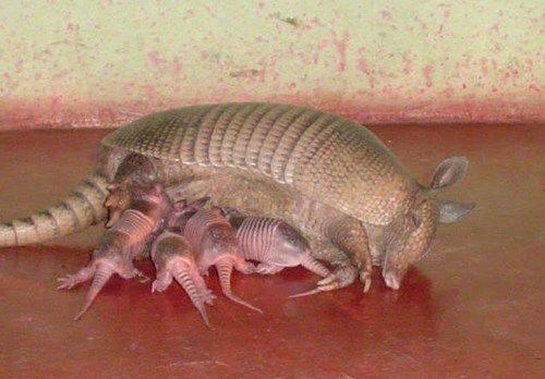 baby armadillos nursing