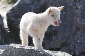 Baby goat climbing mountain