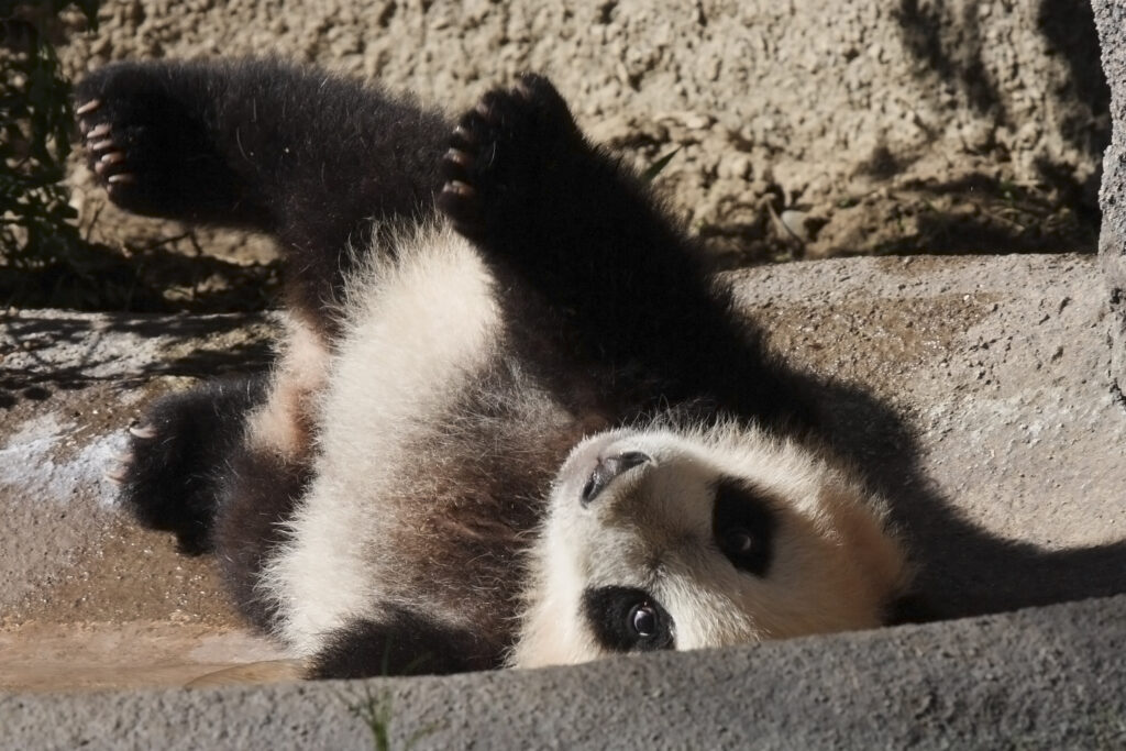 baby panda facts