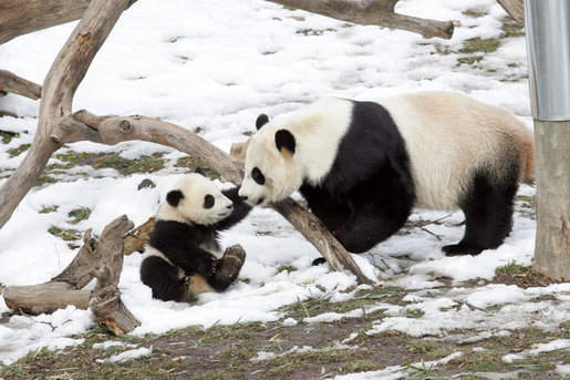 baby panda with mother panda