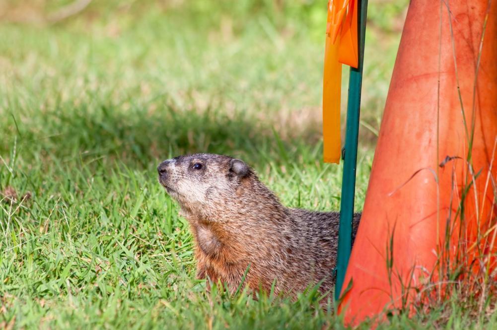 groundhog names