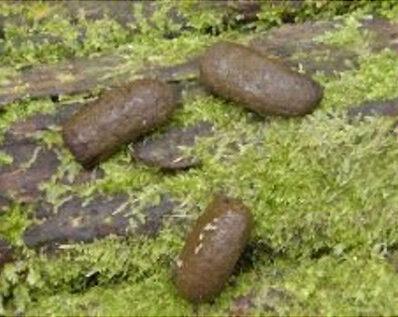 possum poop identification