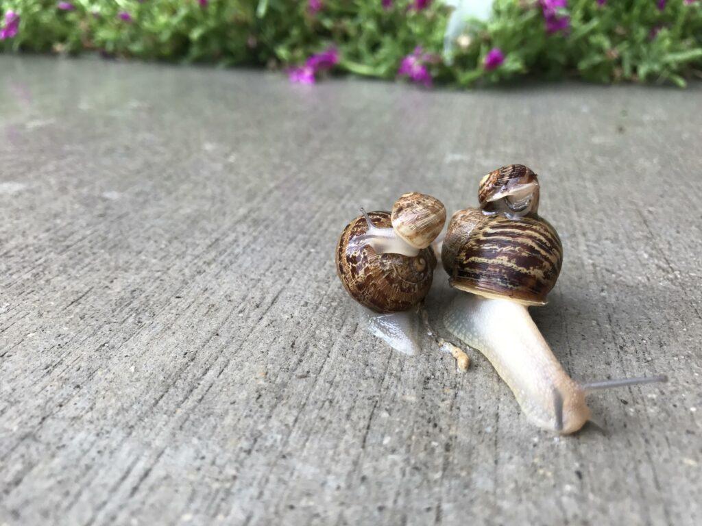 snail mating process