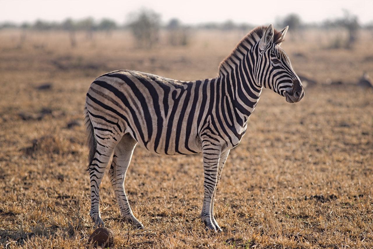 zebra names