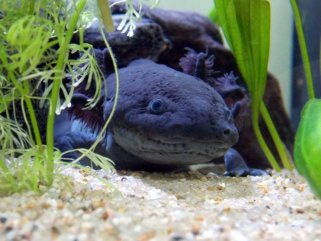 Black Axolotl Care Guide