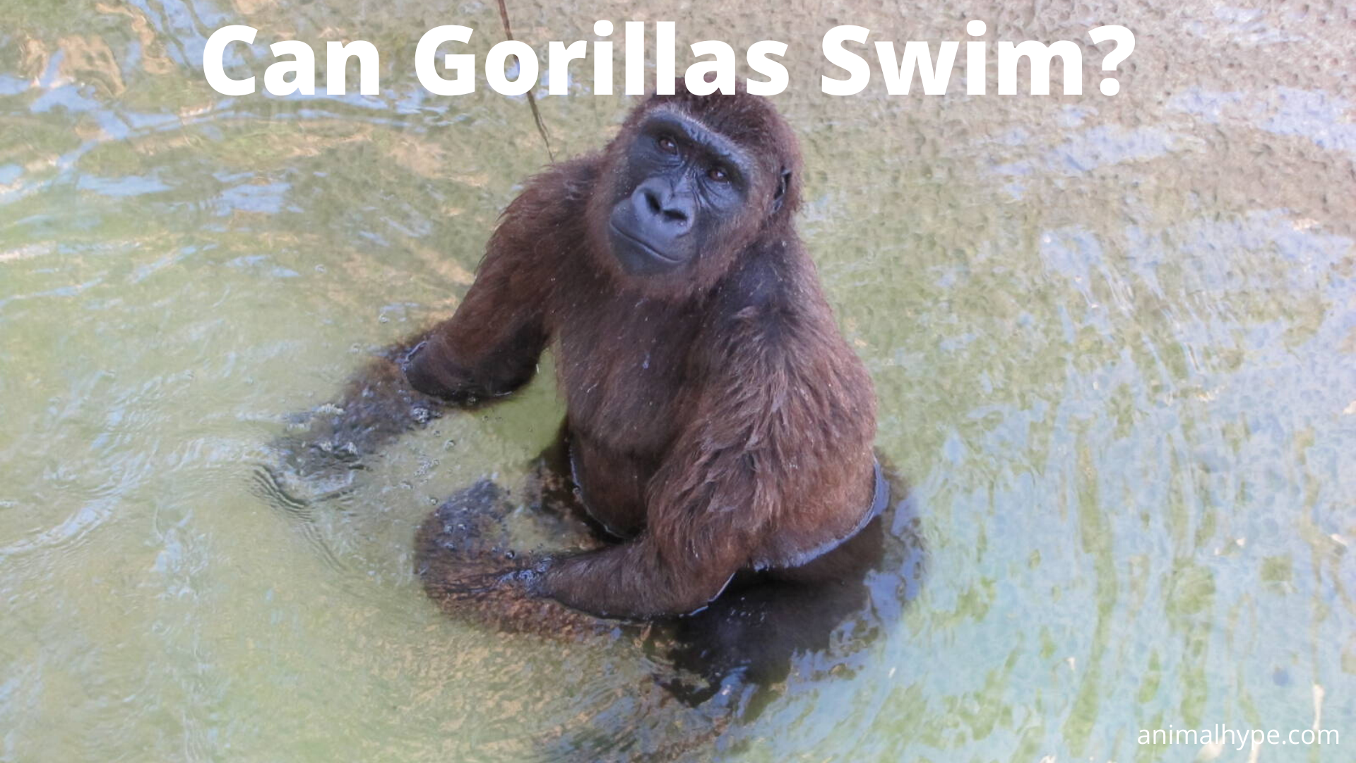 Can Gorillas Swim