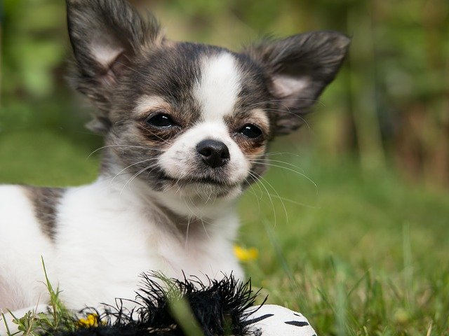 Things Only Chihuahua Owners Will Understand