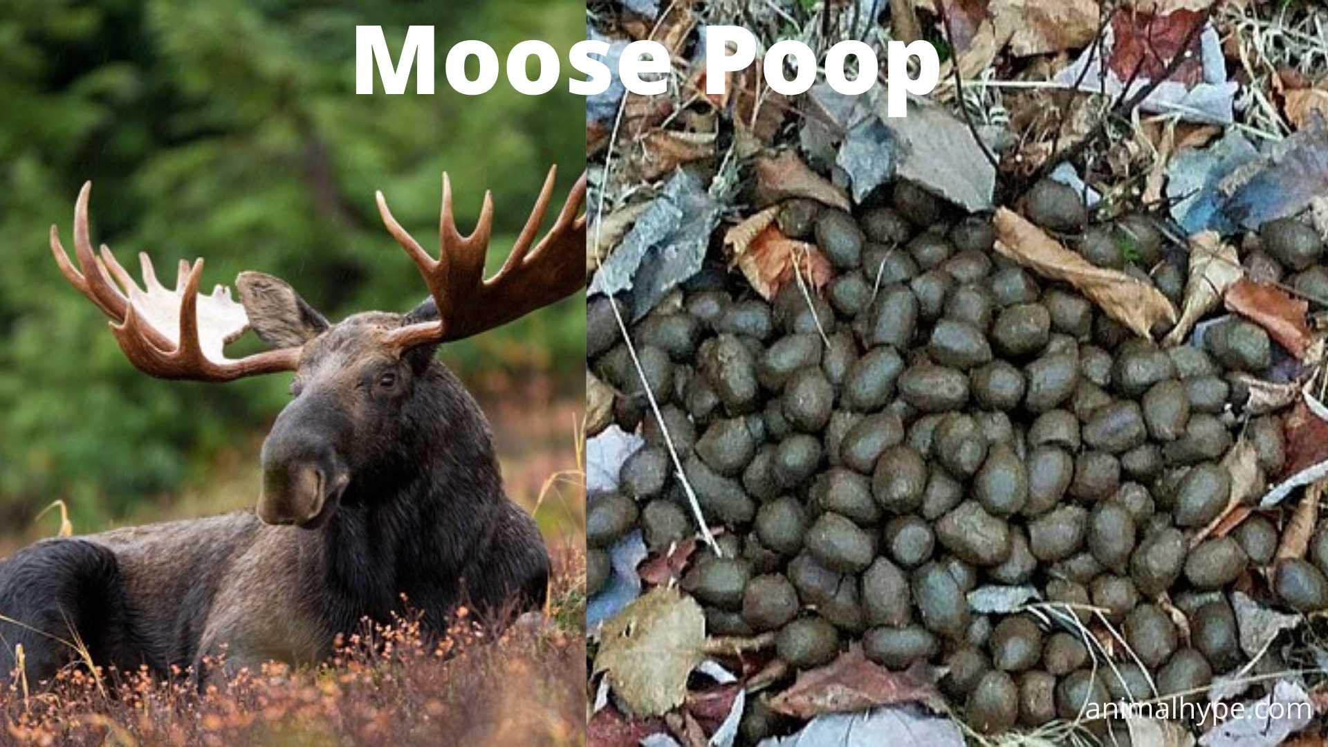 Moose Poop