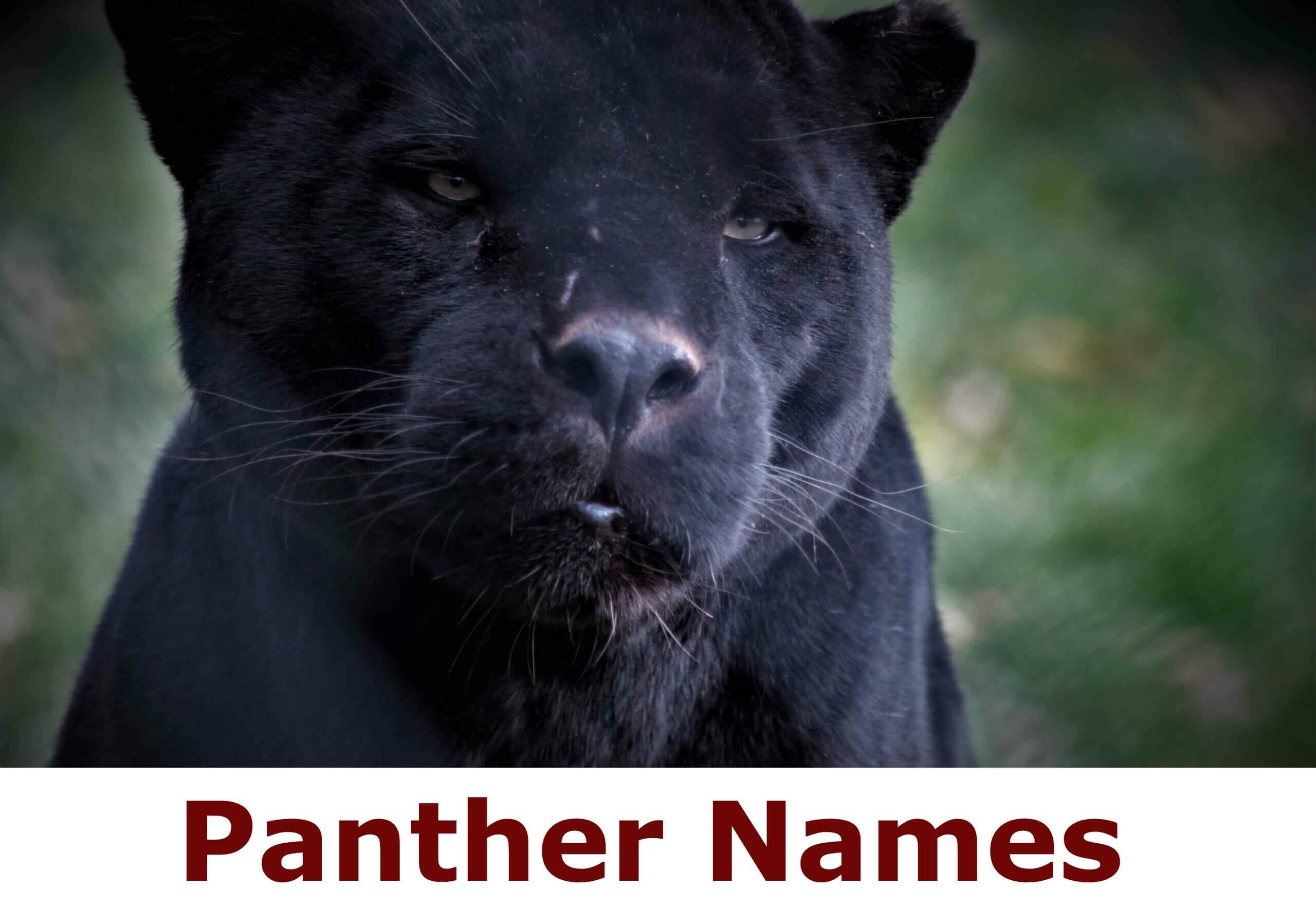 Panther Names
