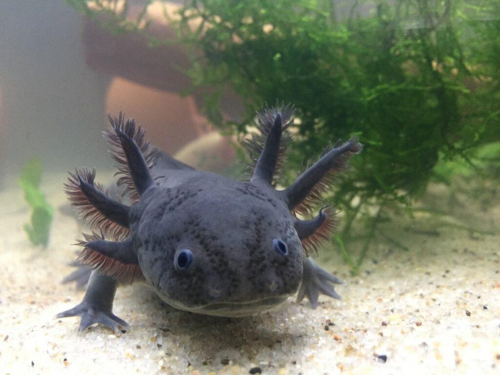 Pet Black Axolotl