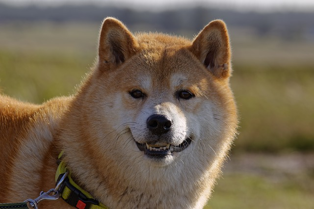Reasons Why You Should Never Own Shiba Inu